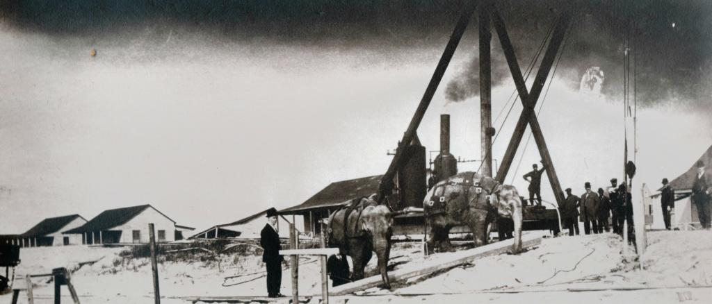 elephants building boardwalk, 1907